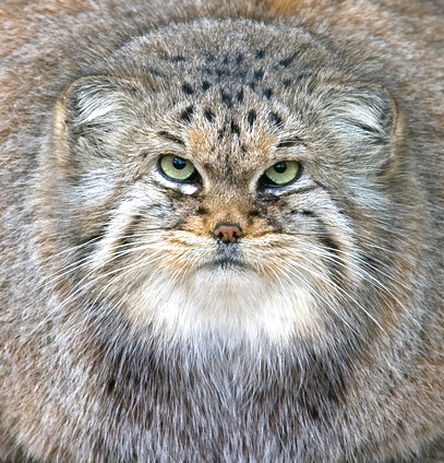 stappastelle pallas cat